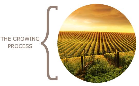 vineyard_greece