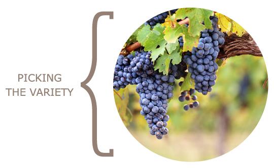 wine_variety