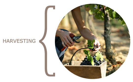 wine_harvesting