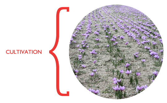 saffron_cultivation