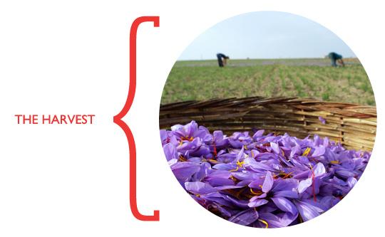 saffron_harvesting